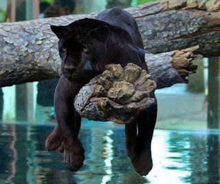 grappige foto: boom tijger
