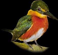 Martinho | American Pygmy Kingfisher