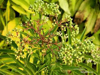 Φυσικά εντομοκτόνα από φυτά