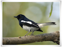 Magpie Bird Animal Pictures