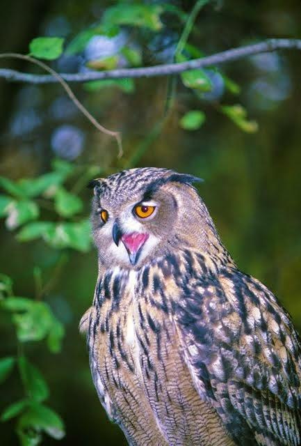 Eagle Owl 2