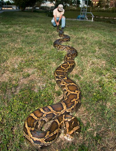 Python Foot Giant 18-foot Burmese Python
