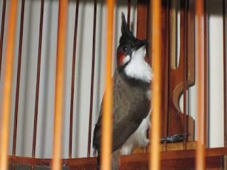 Burung Kutilang Jambul (Pycenonotus Jambul/ Redwhiskered Bulbu) yang berasal dari Thailand, di pasaran burung kicau burung ini biasa di sebut dengan nama sebutan Kutilang malaysia. Ukuran tubuhnya lebih kurang 20cm. Di antara kerabatnya, penampilan burung kutilang jambul tergolong baik karena corak bulunya Pahng Alias PUNK sehingga terlihat sangat menarik para kicau mania.    Manakan Yang Di Butuhkan Burung Kutilang Jambul  Burung ini adalah burung yang kurang menyukai ulat hongkong. Oleh karena itu, agar bertambah sehat perlu di nerikan buah yaitu psang kepok, terutama untuk perawatan awal atau burung yang maih bakalan. Agar si burung tidak terlalu bergantung pada pakan buah seperti pisang kepok, Pisang kepok itu di berikan 3-4 hari sekali. Biasanya satu buah pisang kepok yang di berikan baru habis dalam dua hari dan sebaiknya tidak memberikan sisanya.  Keunggulan Burung Kutilang Jambul Berpenampilan paling menarik di kelasnya Cepat Berkicau Kemlemahan Burung Kutilang Jambul Suara kicaunya agak pecah Sulit di jinakkan.