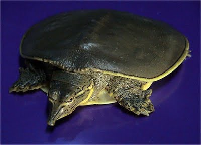 Strategi perdagangan kura-kura