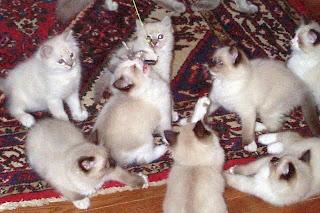 cute ragdoll cat kitten puss pussy pussycat grimalkin kat mace pisik kotka gat macka kocka kass pusa kissa gato katze macska kottur kakis kate qattus kot pisica macka katt kedi con meo kucing pets, huisdieren, animaux de compagnie, Haustiere, animais, Animale de companie, animales domesticos, husdjur, Evcil Hayvan, anifeiliaid anwes, domace zvali, binatang kesayangan, augintiniai, animali domestici, peatai, bet kay, lemmikit, mga alagang hayop, domaci zvirata, kucni ljubimci, animals domestics, maskotak, binatang peliharaan