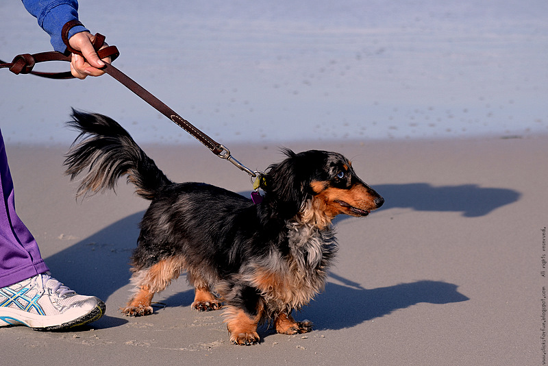 animals small dogs pets photography blogger named doodle beach