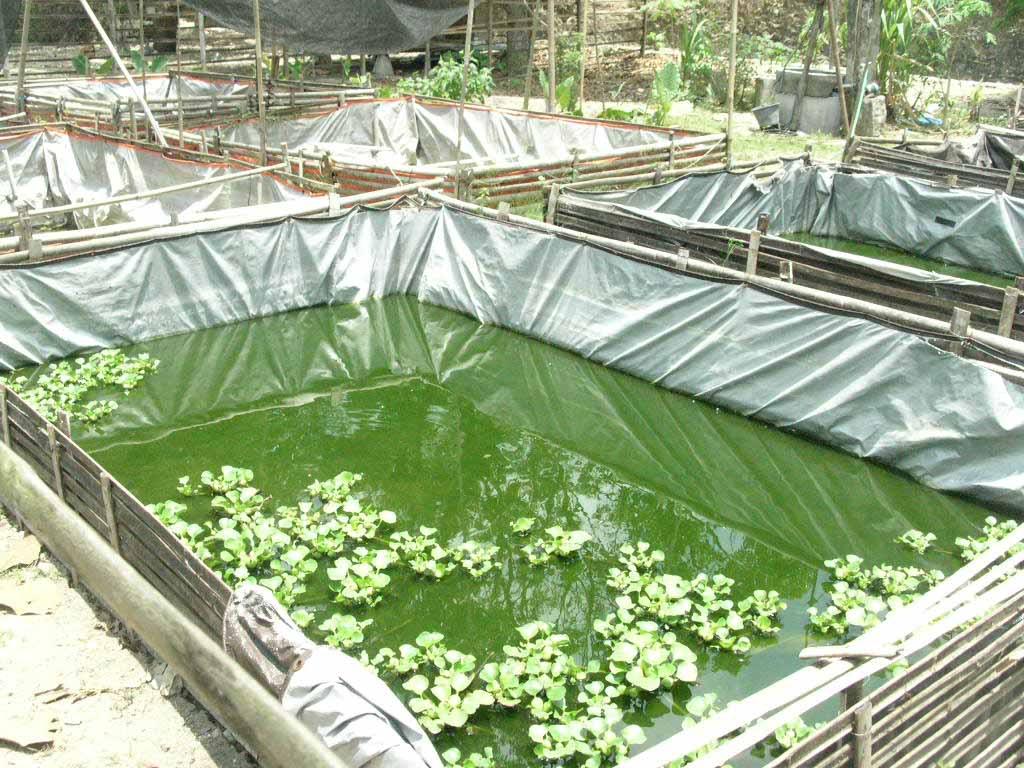 Cara Beternak Ikan Lele, Budidaya ikan lele, Pemeliharaan lele