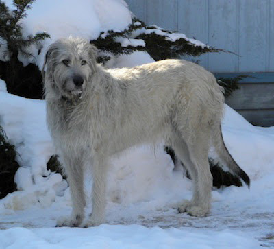 Are Irish Wolfhounds Good With Small Dogs