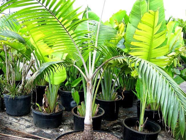 Palmiste