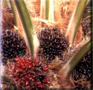 Cara meningkatkan hasil panen kelapa sawit dengan pupuk organik nasa