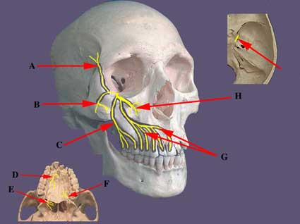 Maxillary Nerve or Second Division of Trigeminal Nerve