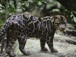 Kucing Dahan