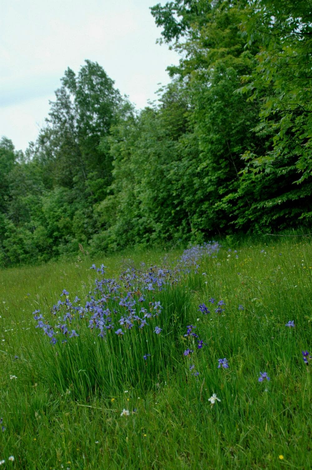 Naturalized Siberian irises