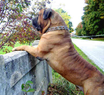 Dogs Info: Bull mastiff Dog