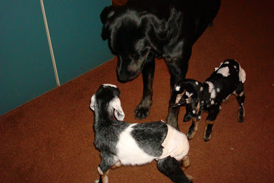 Picture of Rudy sniffing the baby goats (both babies are wearing human diapers and are in the house)