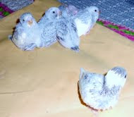 third clutch of budgies