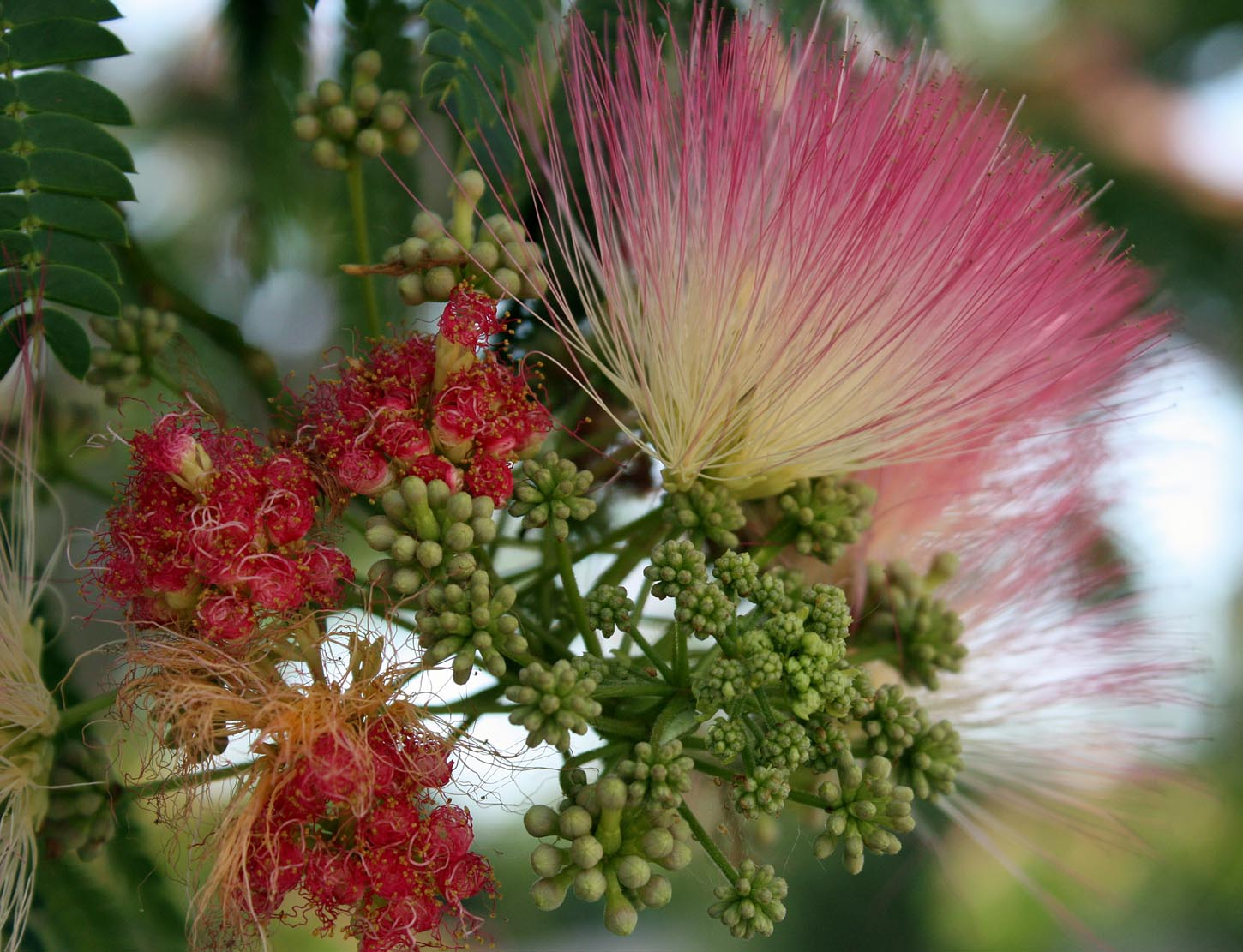 Southern Lagniappe Mimosa The Sleeping Tree