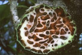 Pengobatan Kanker Payudara Herbal