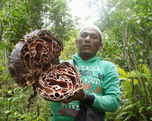 Sarang semut merah papua