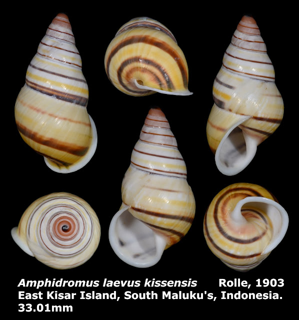 Amphidromus laevus kissensis 33.01mm