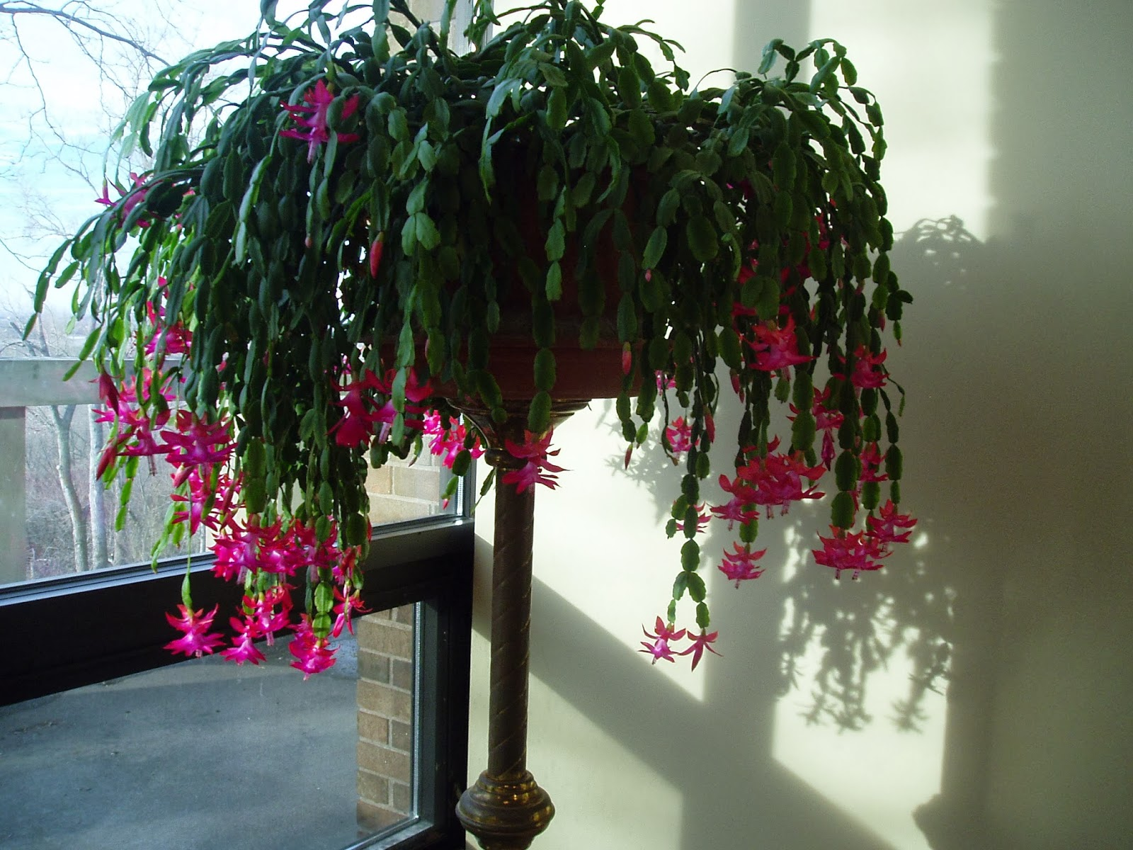 fr john hagemann osb the root of jesse christmas cactus - How To Root A Christmas Cactus