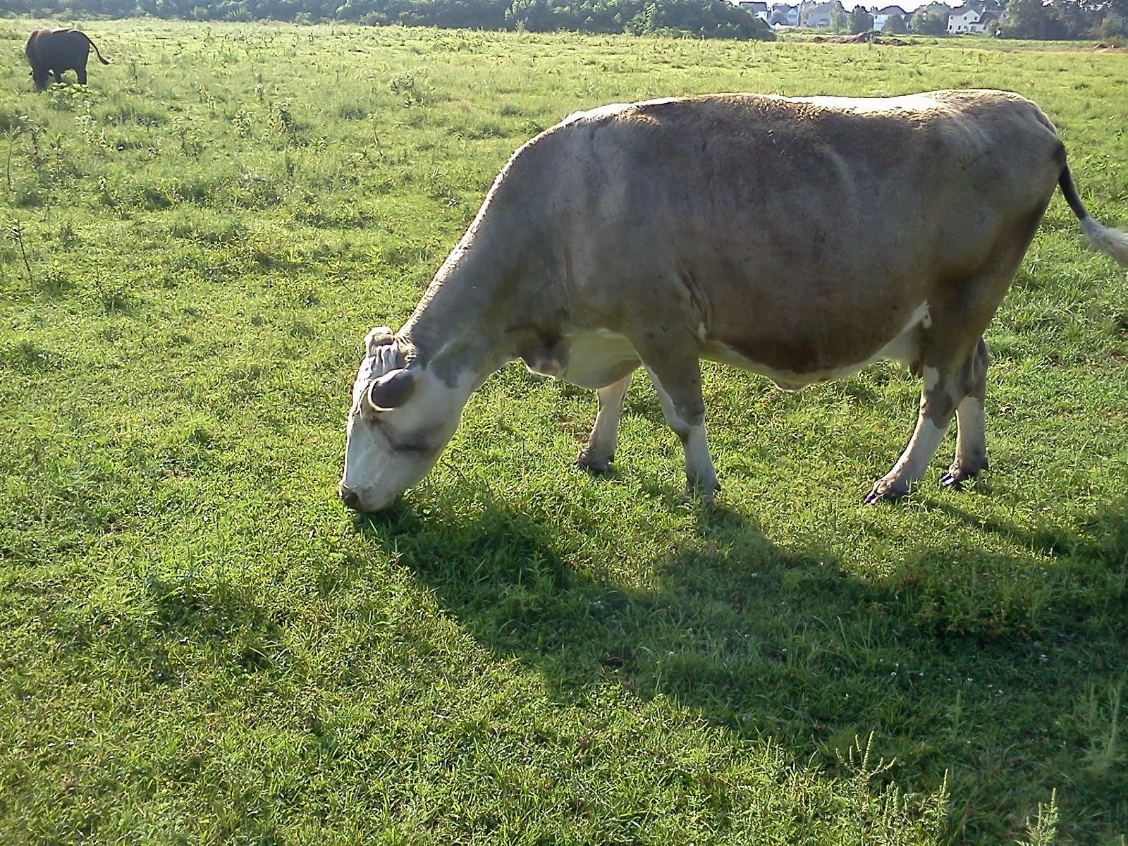 Cow, Constantine Farm, near the Crossings Park, Colonie, NY