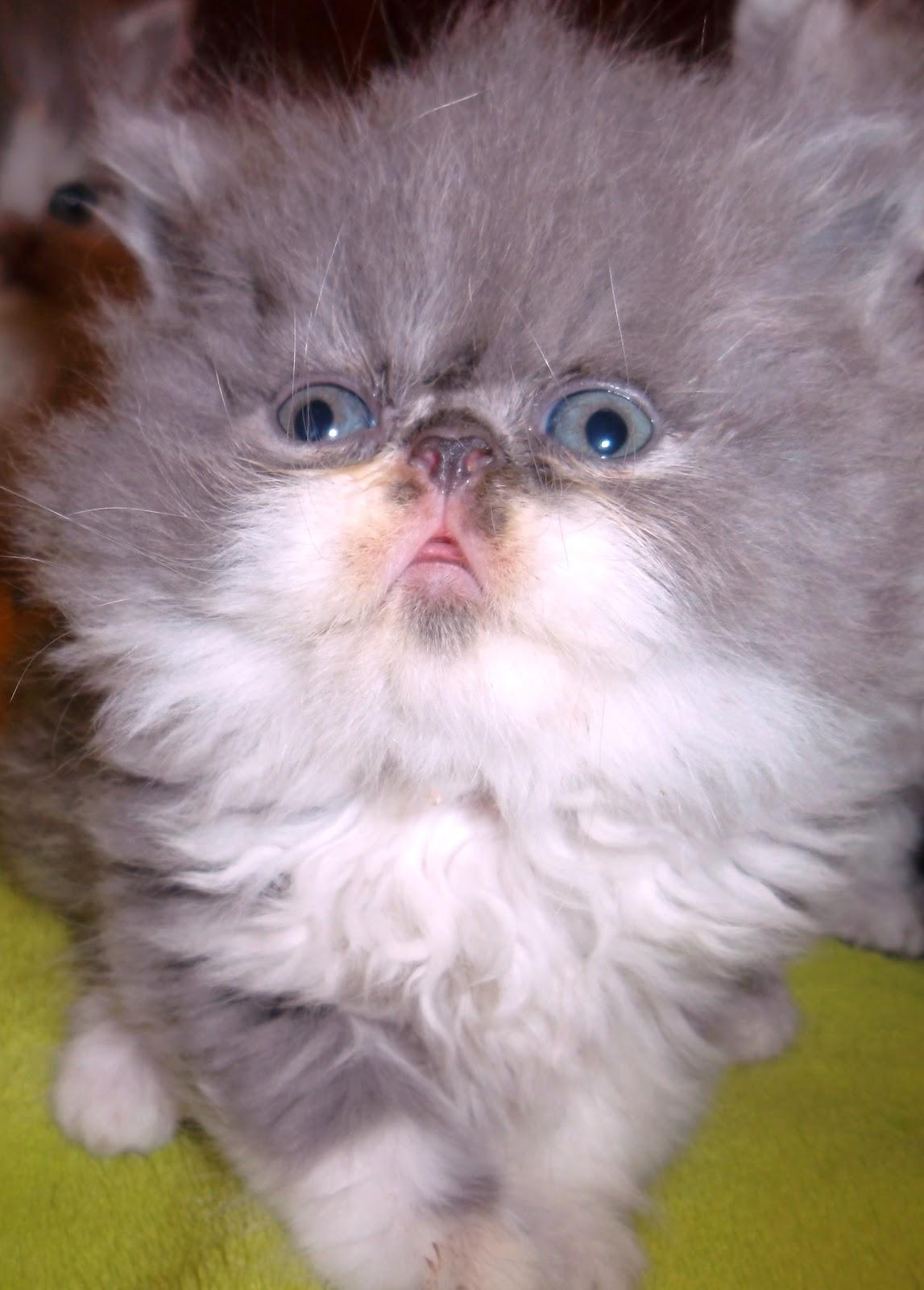 gatos persas azul: