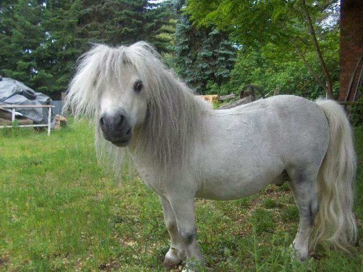 shetland pony hat die haare sch n kleinanzeigen f r pferde. Black Bedroom Furniture Sets. Home Design Ideas