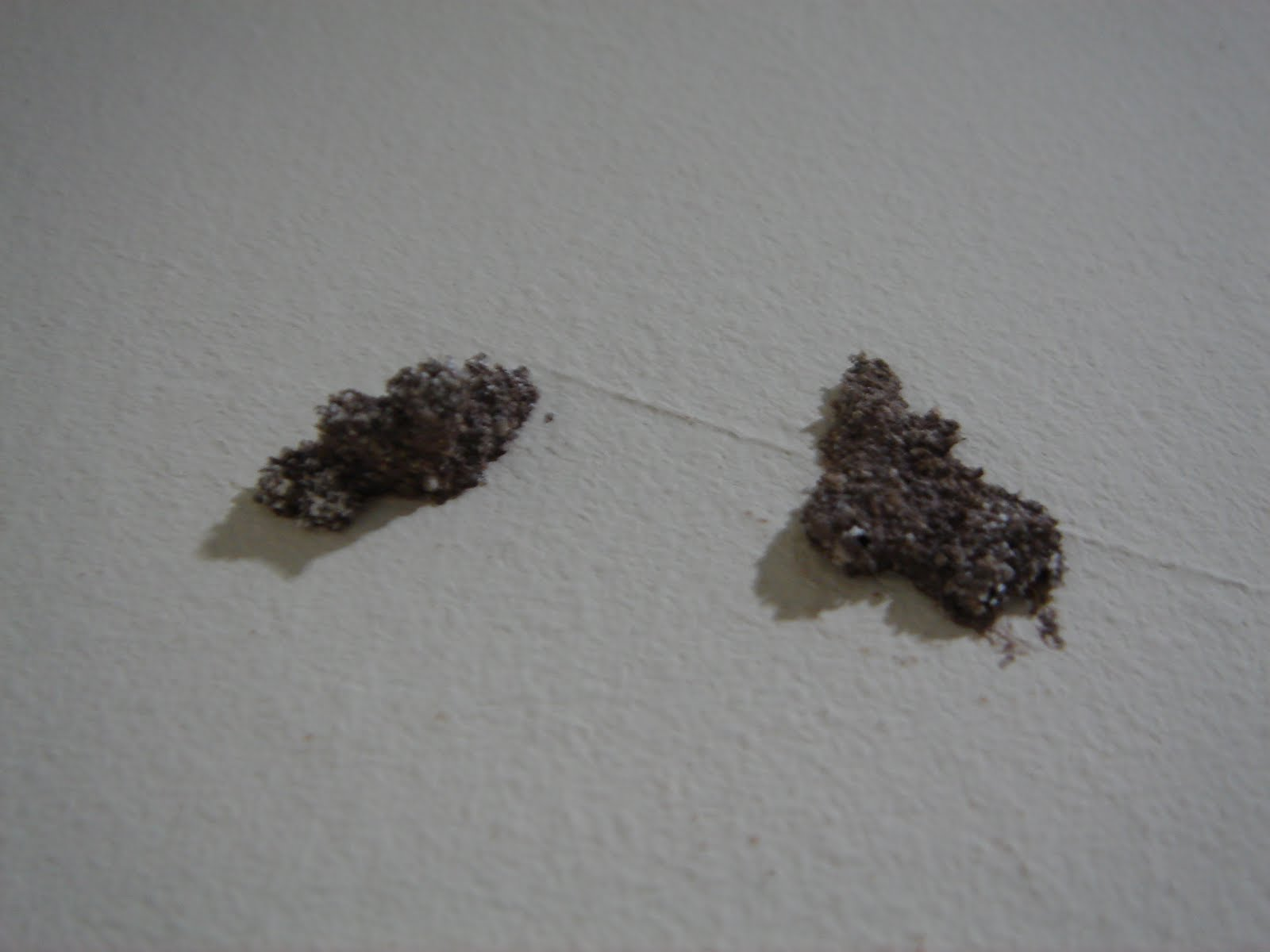 Termite Termite Nest In Wall