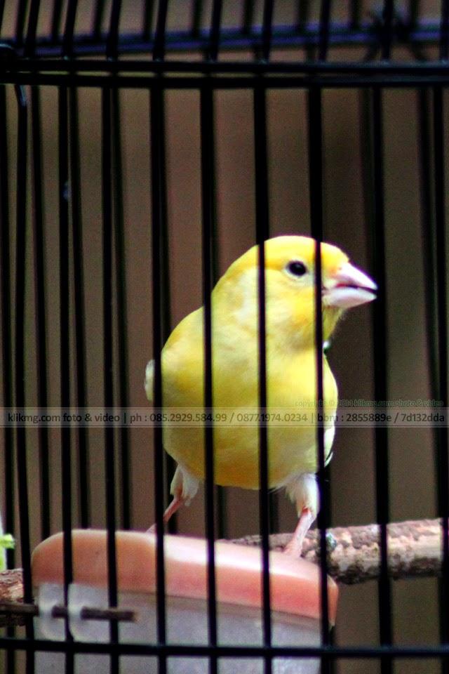 ♫♬ Wahai Kau Burung dalam Sangkar ♬♫ - foto oleh KLIKMG Foto, Fotografer Indonesia