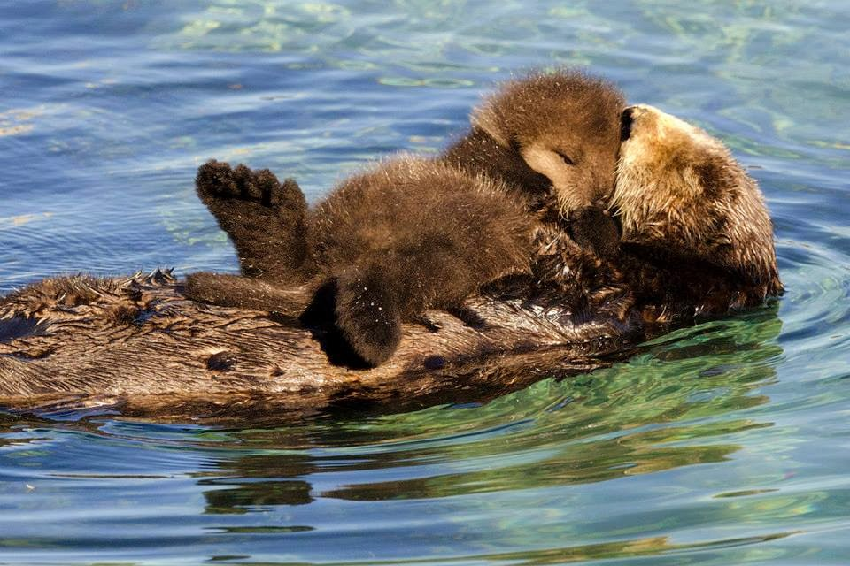 Funny animals of the week - 31 January 2014 (40 pics), baby otter sleeps on momma belly floating on water
