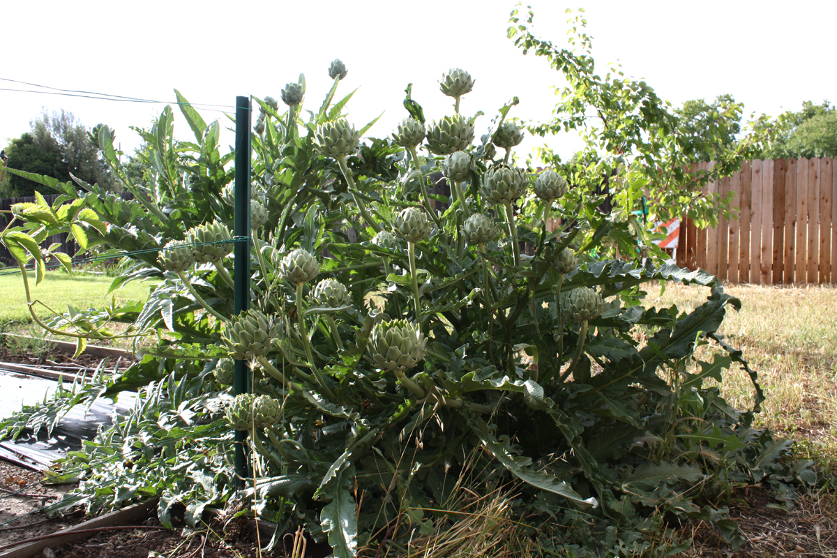 Artichoke+plants+for+sale