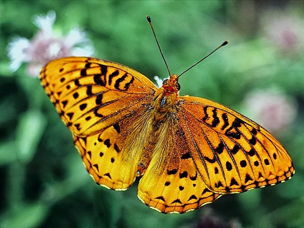 download butterfly wallpaper - photo #40