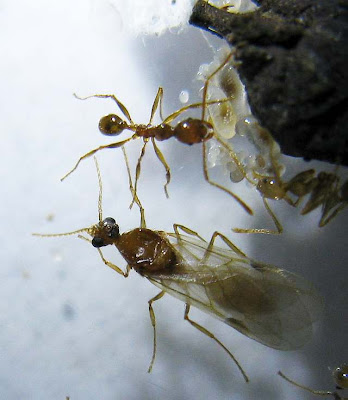 Male alate and workers of Pheidole sp