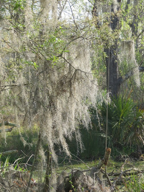 Spanish Moss covered Oak Trees at Armand Bayou Nature Center.