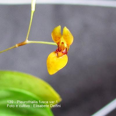 Pleurothallis hypnicola Lindl.;Humboldtia hypnicola ;Specklinia hypnicola ; Stelis hypnicola .
