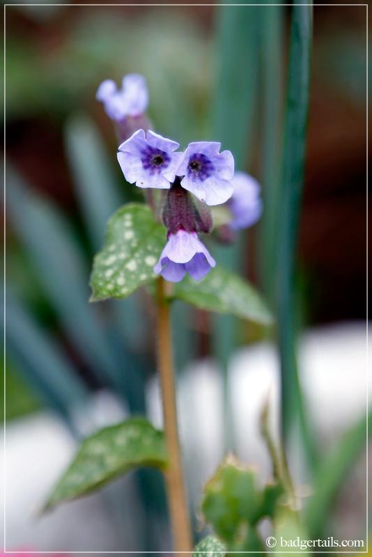 Lilac Pulmonaria flowers