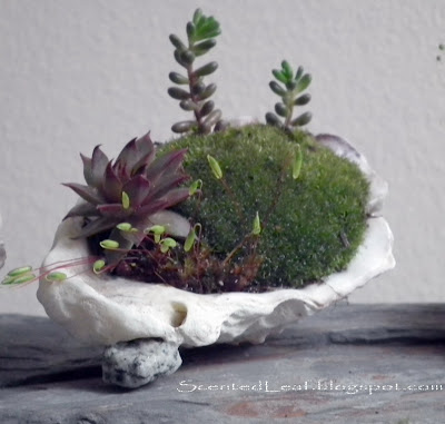 Mother's Day gift - succulents potted in oyster shell