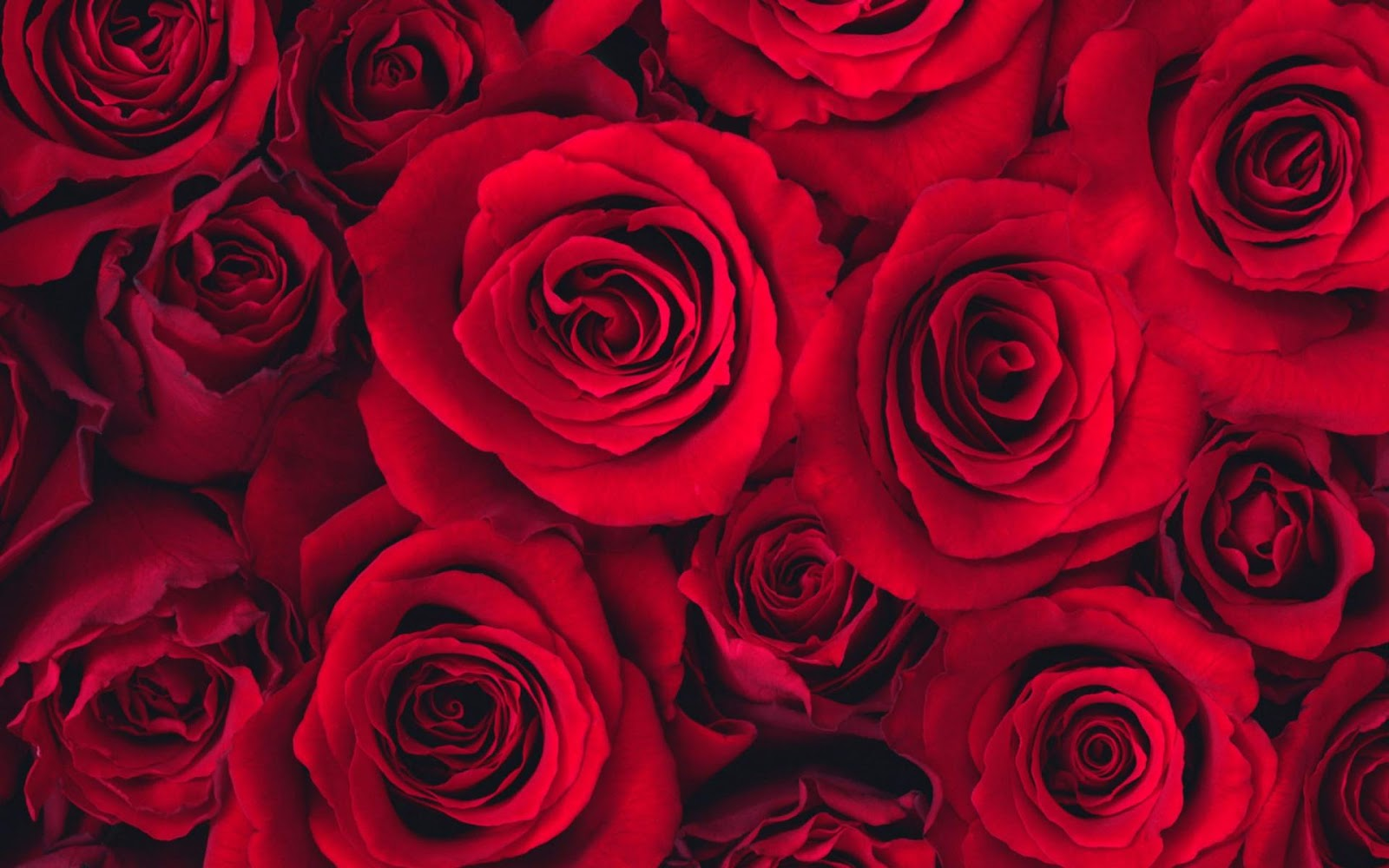 Red Rose Wallpapers
