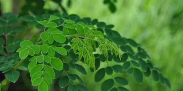 Manfaat daun kelor dan cara pengolahannya