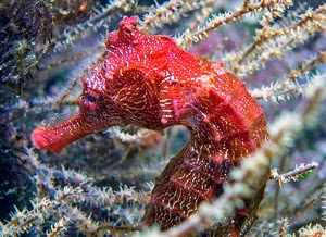 Pacific Seahorse by Peter Liu