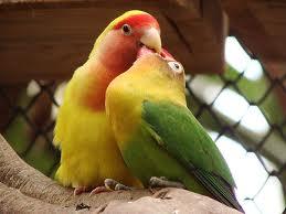 jenis lovebird muka salam