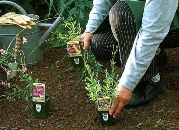 flores para jardim verao : flores para jardim verao:Flores e Jardins, plantas, jardinagem e paisagismo: Plantando flores