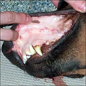 Niêm mạc nhợt nhạt trong chứng thiếu máu trên chó