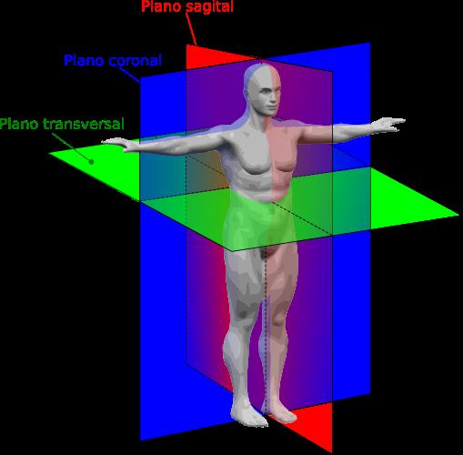 Resultado de imagen de Simetría bilateral