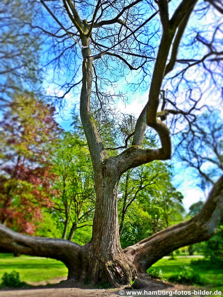 Besonderer, einzelner Baum im Hamburger Stadtpark