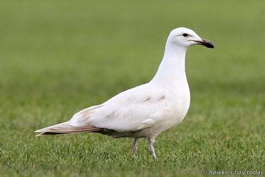 Leucistic too? A young black-backed gull in Hastings photograph