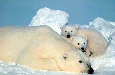 gambar beruang - gambar beruang kutub