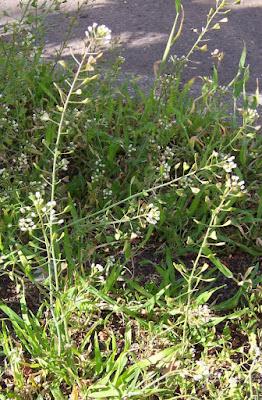 Shepherd's Purse (Capsella Bursa-pastoris) Overview, Health Benefits, Side effects