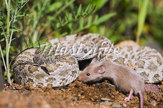 snake,animalia,chordata,reptilia,Squamata,Varanoidea,Serpentes
